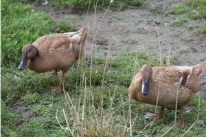 duck-khaki
